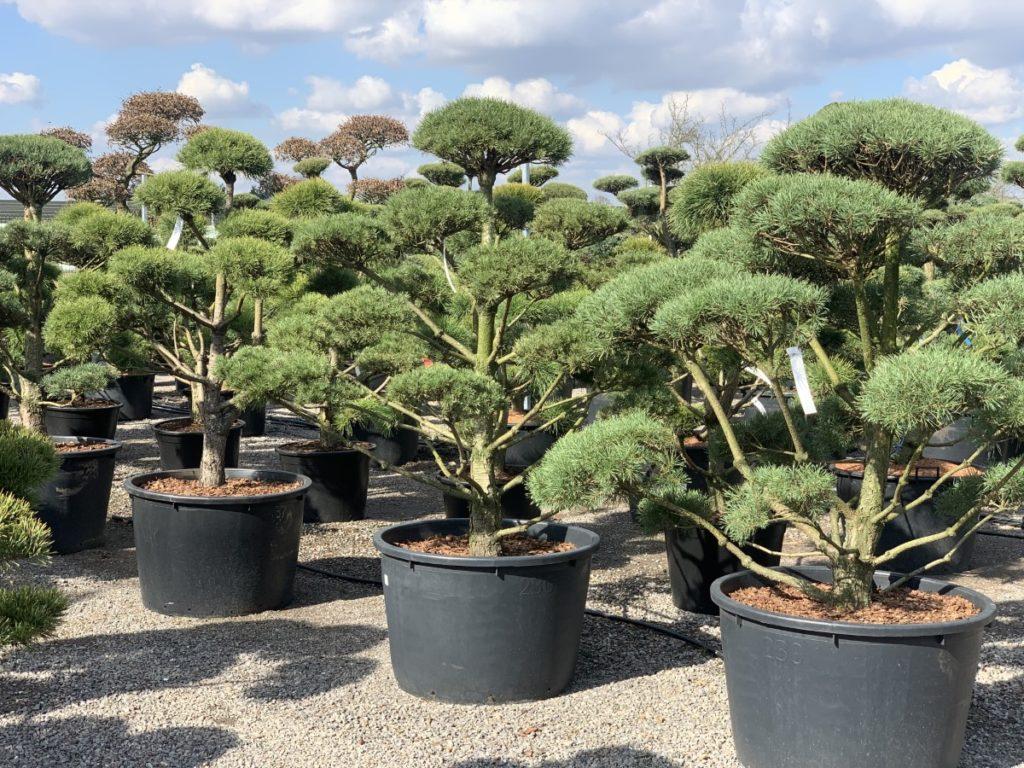 bonsai do ogrodu promocja