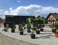 bonsai-ogrodowe-Gliwice-Rybnik_Wilcza-02