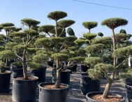 bonsai-ogrodowe-Gliwice-Rybnik_Wilcza-05