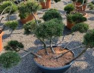 bonsai-ogrodowe-Gliwice-Rybnik_Wilcza-06