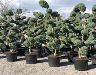 bonsai-ogrodowe-Gliwice-Rybnik_Wilcza-07