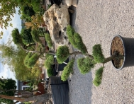 bonsai-ogrodowe-Gliwice-Rybnik_Wilcza-08