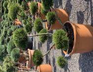 bonsai-ogrodowe-Gliwice-Rybnik_Wilcza-09
