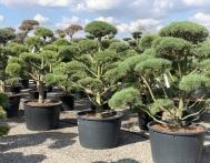 bonsai-ogrodowe-Gliwice-Rybnik_Wilcza-10