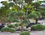 bonsai-ogrodowe-Gliwice-Rybnik_Wilcza-11