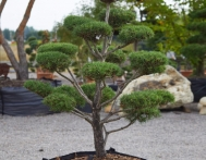 bonsai-ogrodowe-Gliwice-Rybnik_Wilcza-12