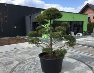 bonsai-ogrodowe-Gliwice-Rybnik_Wilcza-04